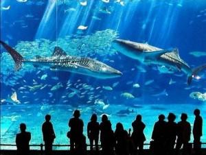 Dive Down to the Far East – the Okinawa Churaumi Aquariumc
