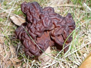 Kitchen-Talks-Gyromitra-esculenta-The-Brain-Mushroom