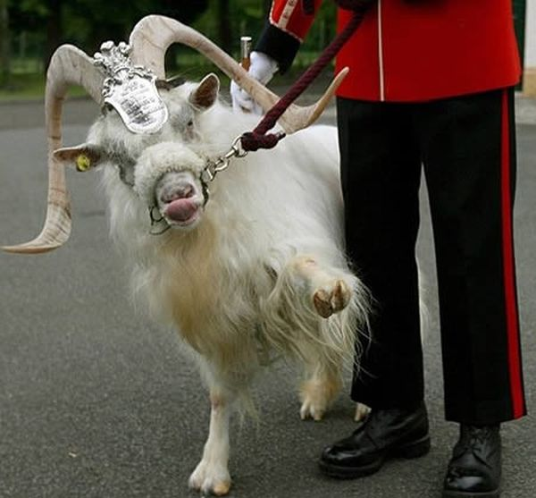 9-Most-unusual-pets-royal-goat
