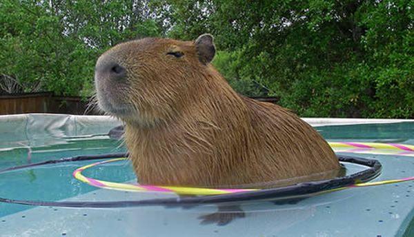 a96811_a506_capybara3