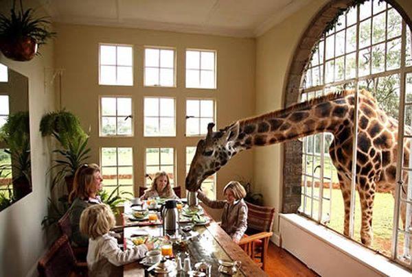 a96811_a506_giraffes