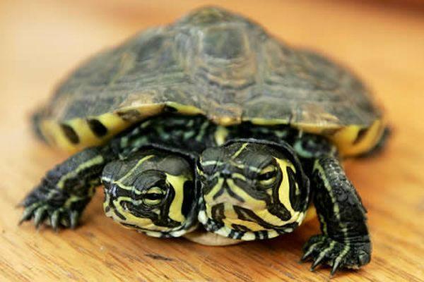 a96811_a506_turtle