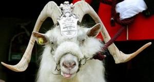 regimental-goat_1408723i