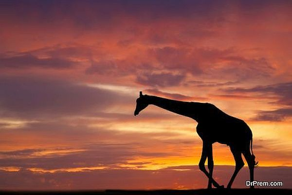 Astounding facts of giraffe