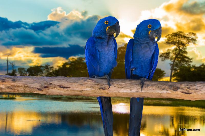 blue-Macaw.