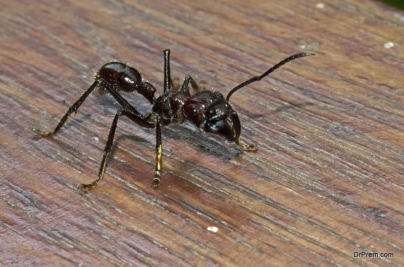 Bullet-Ant.