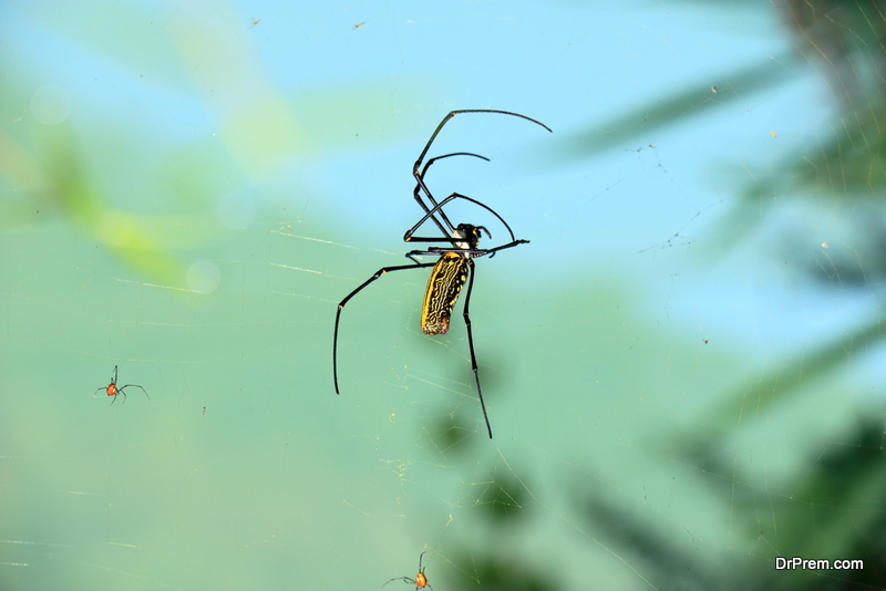 Giant-orb-weaver.
